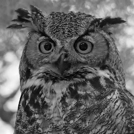 Female Horned Owl by Anthony Goldman - Black & White Animals ( wild, florida., oel, bird.predator, nature, female, b & w, wildlife, great horned,  )