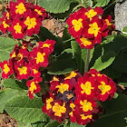 polyanthus primula (hybrid)