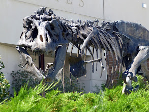 """Photo: This T-Rex, found in Montana, is larger than """"Sue"""" in the Field Museum and the T-Rex at the American Museum of Natural History. The original fossil was sent to the Smithsonian from the Museum of the Rockies in June. We just missed it!"""