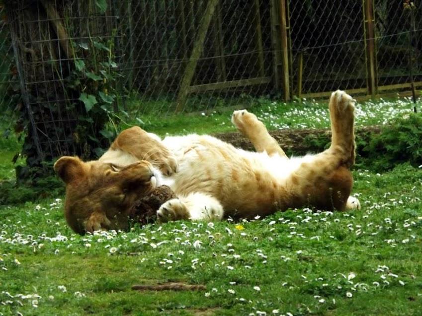 Lionne ayant conservé quelques taches, Doué la Fontaine - Tous droits réservés
