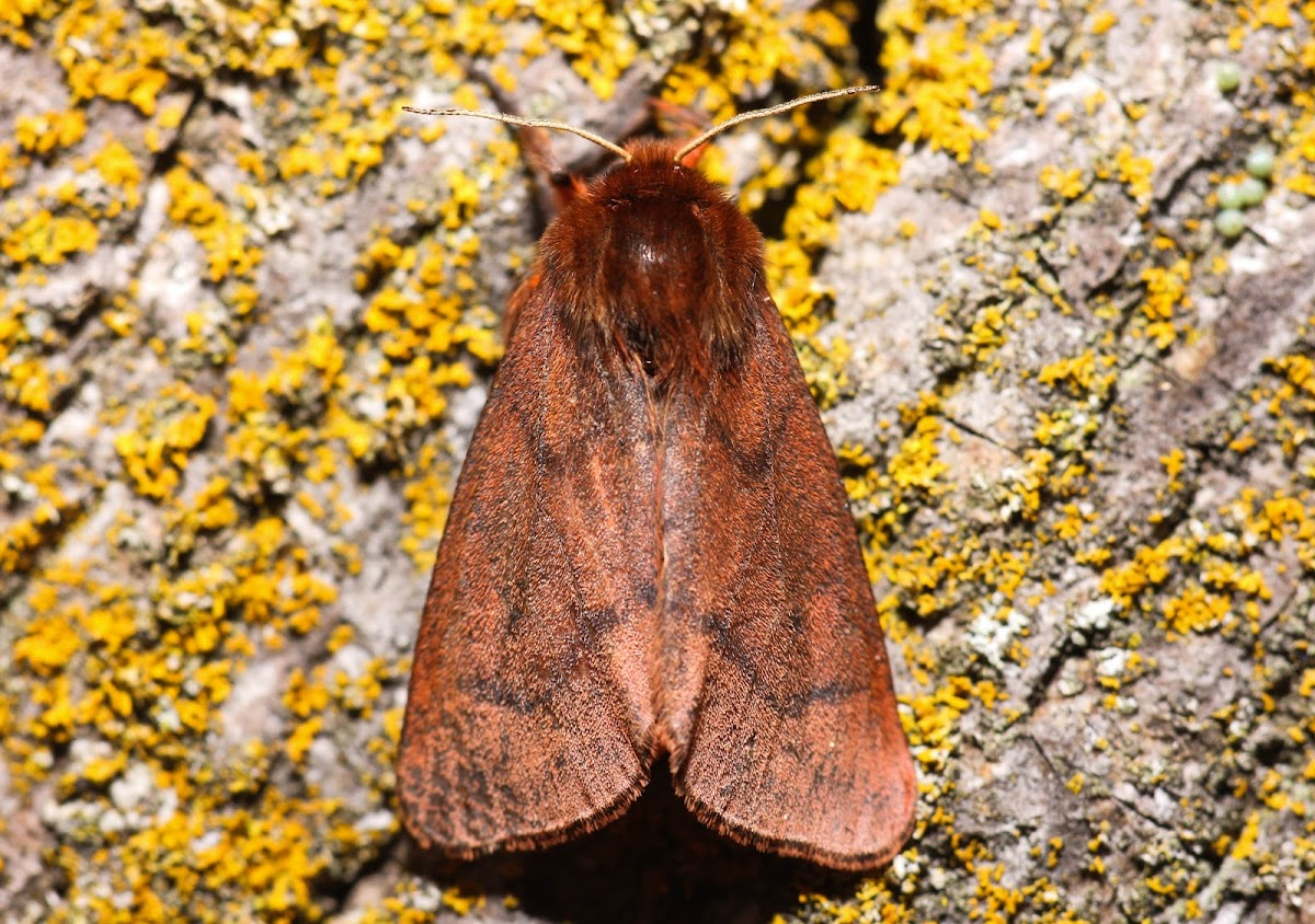 Lined Ruby Tiger Moth - 8157