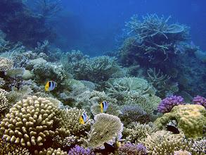 Photo: Chaetodon ulietensis (Double-saddle Butterflyfish), Naigani Island, Fiji