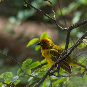 Weaver 2 by Eric Klein - Animals Birds