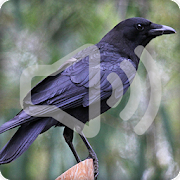 Crow Sounds Ringtone