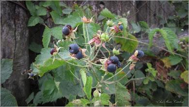 Photo: Mur  (Rubus fruticosus) - de pe Str. Macilor - 2017.09.02