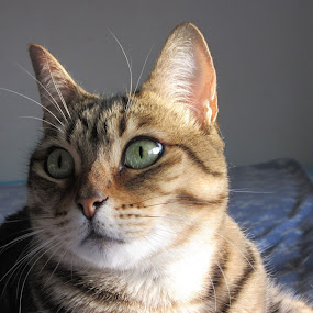 Eyes by Catarina Cardoso - Animals - Cats Portraits