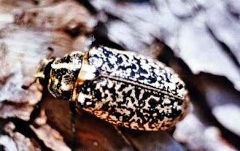 Photo: La robe du hanneton à foulons - vit dans les pins -