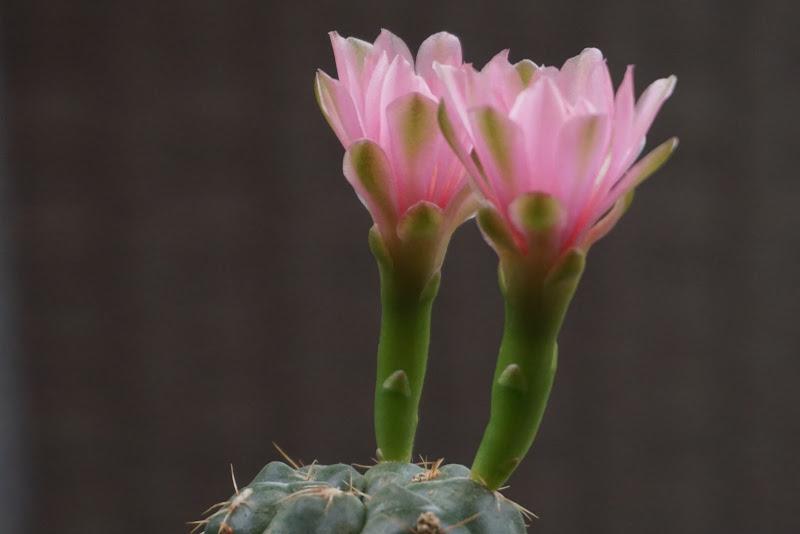 Fiori rosa di patsie_1506