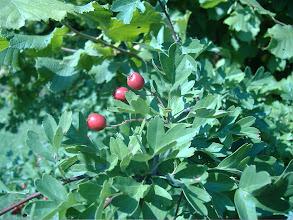 Photo: del biancospino si mangiano i frutti