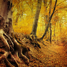 From Roots to Needles by Zsolt Zsigmond - Landscapes Forests ( tree, autumn, roots, fall, trees, forest, light, foilage )