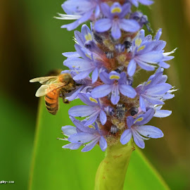 Busy bee by Amanda Daly - Novices Only Flowers & Plants (  )