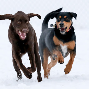 A Team by Peter M  - Animals - Dogs Playing ( canon, chicago, lab, chocolate lab, rottweiler )