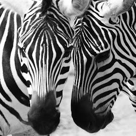 Zebra  by Asif Bora - Black & White Animals (  )