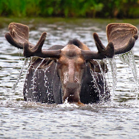 by Wil Domke - Animals Other Mammals ( water, maine, moose, feeding, baxter state park )