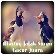 Master Jalak Suren Gacor Juara