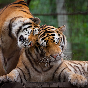 Hug by Diána Barócsi - Animals Lions, Tigers & Big Cats ( love, cats, animals, diana barócsi, hug, zoo, wildlife, strips, behind bars, tigers,  )
