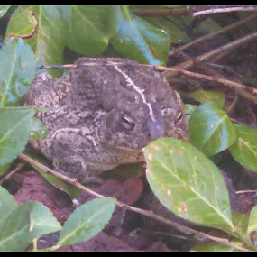 Bufo boreas, a.k.a., the western toad.  You can't tell by the look on his face, but he's thankful to have been rescued from the window well. by Falina Skinner - Animals Amphibians