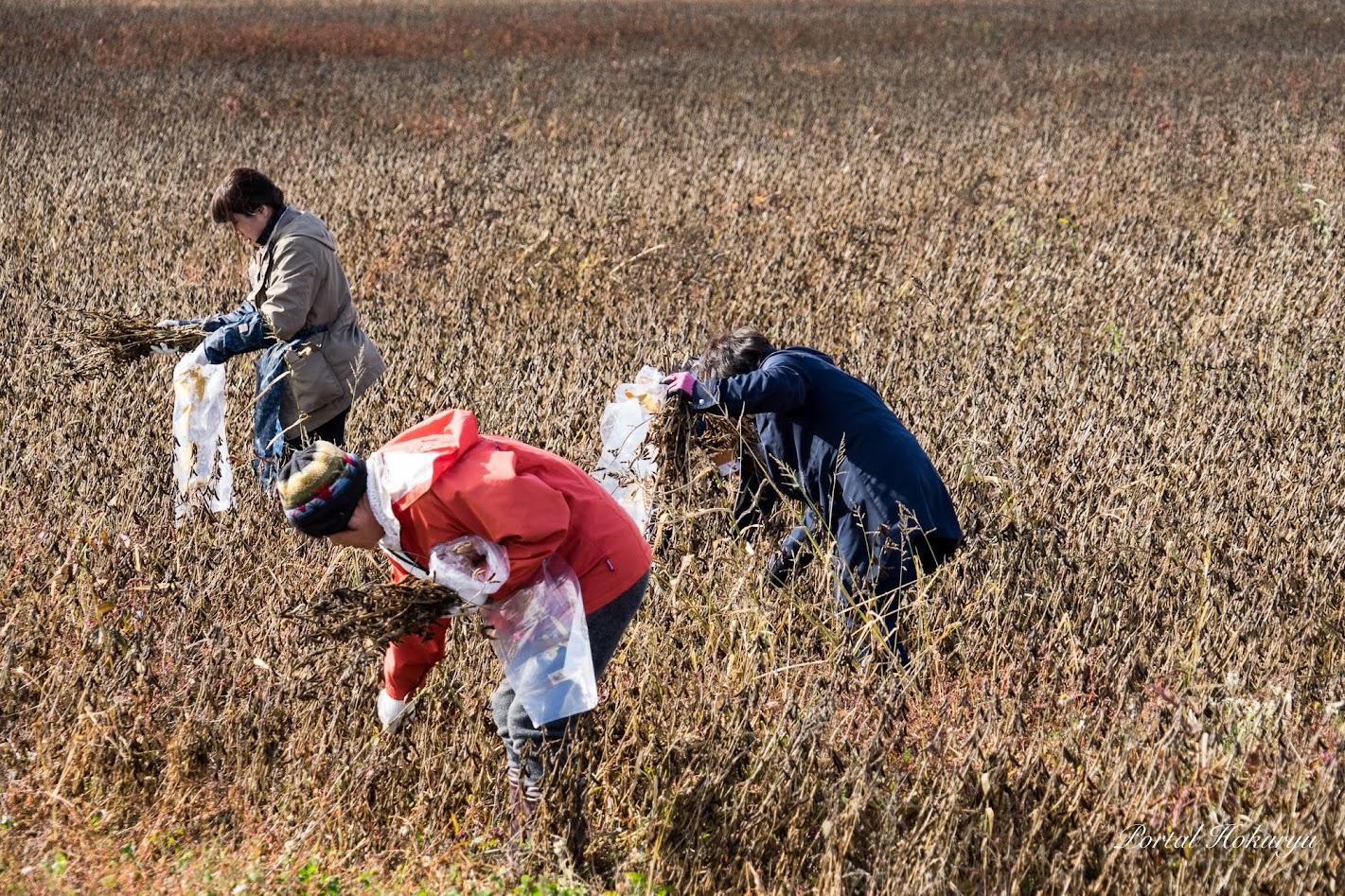黒千石大豆収穫中