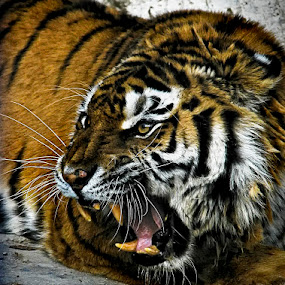 angry by Soran Sorin - Animals Other Mammals