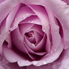 Purple Rain by Sam Sampson - Flowers Single Flower ( rose, purple, flower, rain, droplets,  )