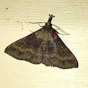 Discolored Renia Moth