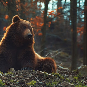 Brown bear by Ondřej Chvátal - Animals Other Mammals ( big, forest, fur, natural, nature, brown, look, eyes, head, light, bear, zoo, wild, colorful, wildlife,  )