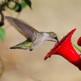 Little Hummer by Max Molenaar - Animals Birds ( nature, hummingbird, zoom, birds, close up )