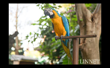 Photo: ルリコンゴウインコ (Blue-and-yellow Macaw)