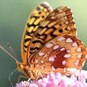 Zerene Fritillary Butterfly