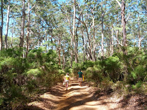 Photo: Taking a walk among the karri trees