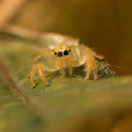eyes through the web :Telamonia dimidiate or The two-striped jumper by Shajin Nambiar - Animals Insects & Spiders (  )