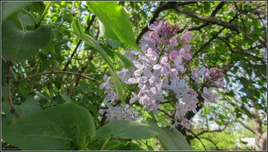 Photo: Liliac  (Syringa vulgaris) din Turda, Str. Salinelor, Nr.15 - 2018.04.22