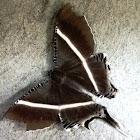 Tropical Swallowtail or Giant Uraniid Moth