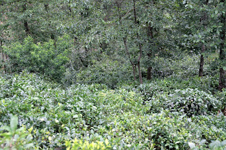 Photo: Some of our tea trees in the foreground.  These trees are about eighty years old.  They live in a very natural forest environment.