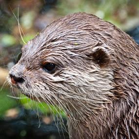 Otter by Chris Boulton - Animals Other Mammals ( marwell, chris boulton, animal )