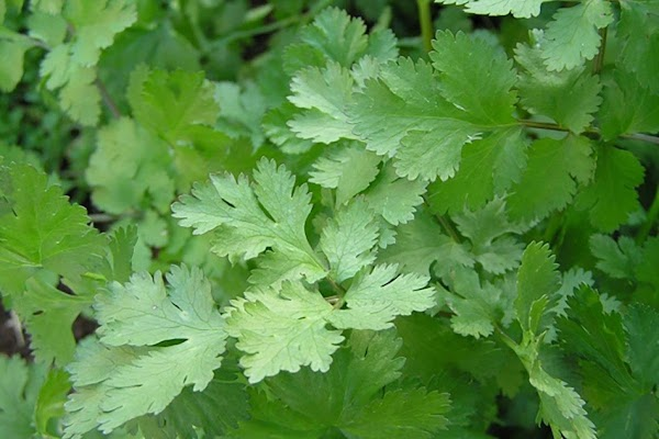 Coriander (Cilantro)Native to the Mediterranean and the Orient, coriander is actually related to the...