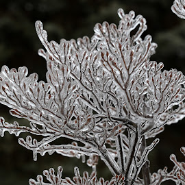 Ice Storm by Bruce Arnold - Nature Up Close Other Natural Objects (  )