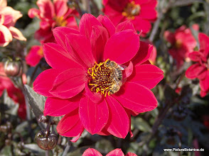 Photo: Dahlia mit Biene