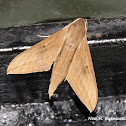 Pale Brown Hawk Moth