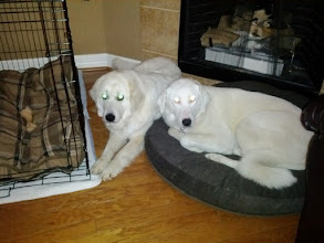 Photo: Great Pyr snuggle time