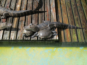 Photo: Apparently Gators and Turtles got no issues.