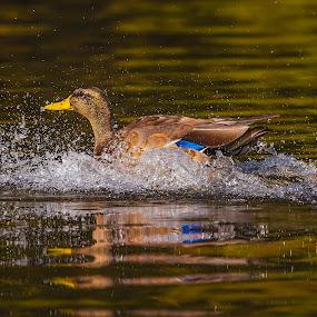 Splashdown by Don Holland - Animals Birds