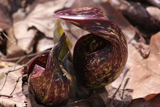 Photo: Skunk cabbage