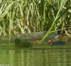 Photo: Coot and Young Top Lodge, Lower Healey 22.07.12