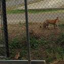Sacramento Valley red fox