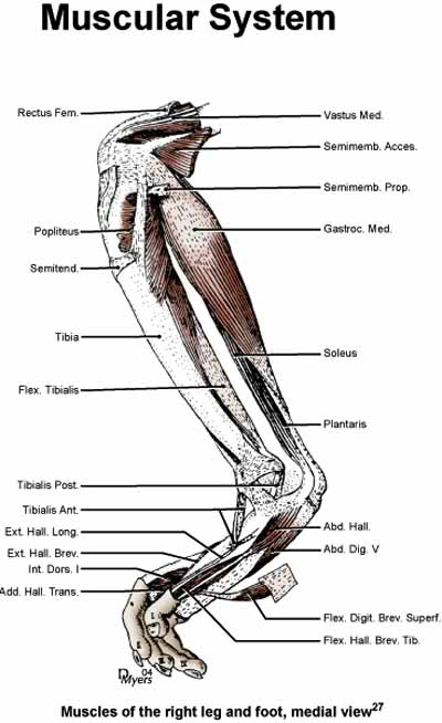 Muscles of the right leg and foot, medial view [27].