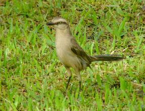 Photo: Chalk-browed mockingbird - Macuco Trail -  Iguazu National Park - Argentina - Dec 2, 2010