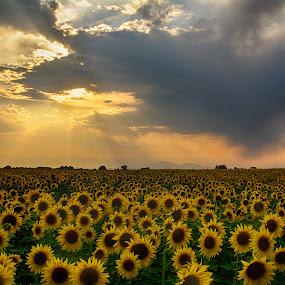 Stormy Sunset Sunflowers by Heather Diamond - Nature Up Close Gardens & Produce ( clouds, starburst, green, beautiful, colorado, sunflower, scenic, yellow, beauty, glow, drama, sun, rays, field, red, sunset, sunshine, scenery, natural, flower )