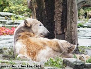 Photo: Knut raekelt sich gemuetlich :-)