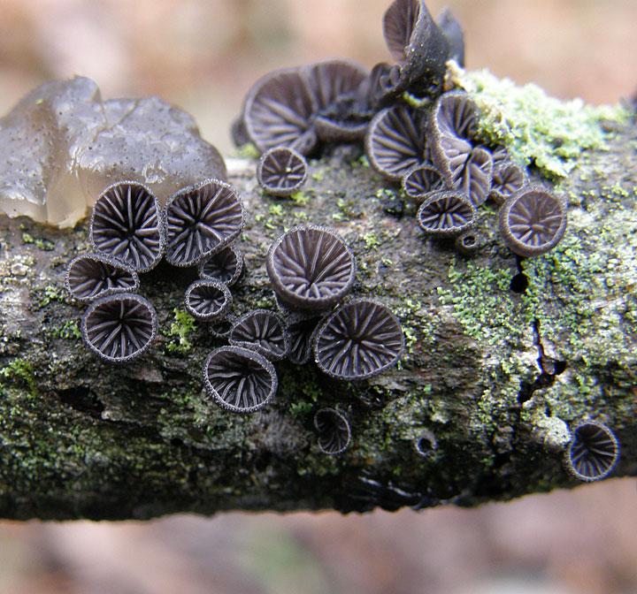 Resupinatus alboniger